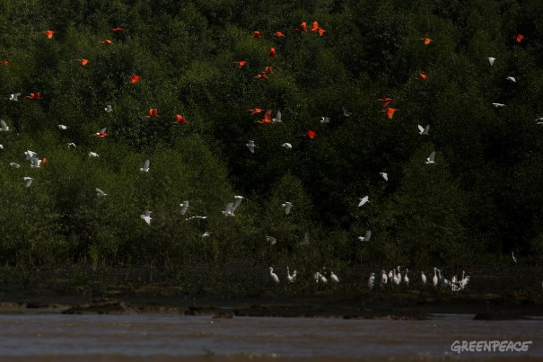 Guarás e Garças sobrevoam área de mangue no Parque Nacional do Cabo Orange.  Foto: Victor Moriyama / Greenpeace