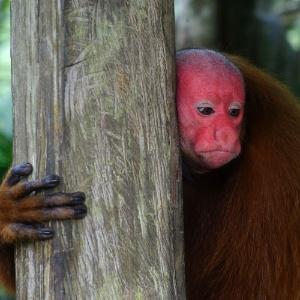 Macacos espalham sementes de grandes árvores na Amazônia