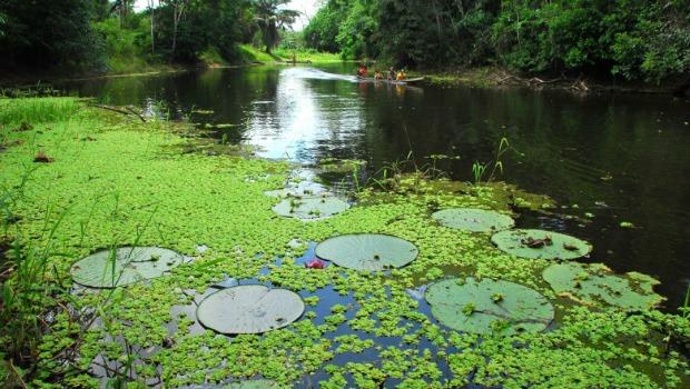 A planta é típica de água barrenta, mas podem viver em águas escuras.  Foto: Gleison Miranda/Agência Acre