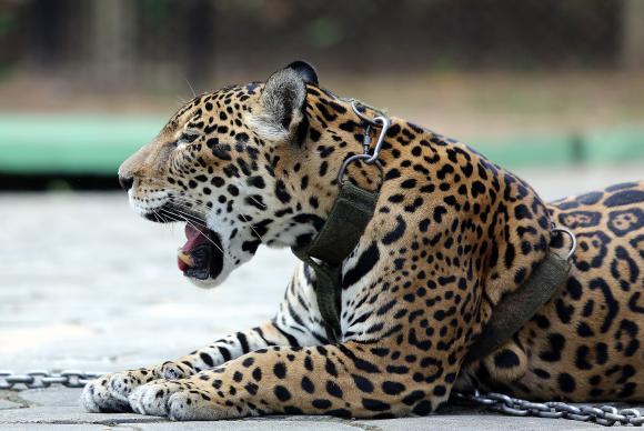 A onça-pintada é o maior felino das Américas.  Espécie emblemática das matas brasileiras, a onça é um animal silvestre ameaçado de extinçãoIvo Lima/Ministério do Esporte