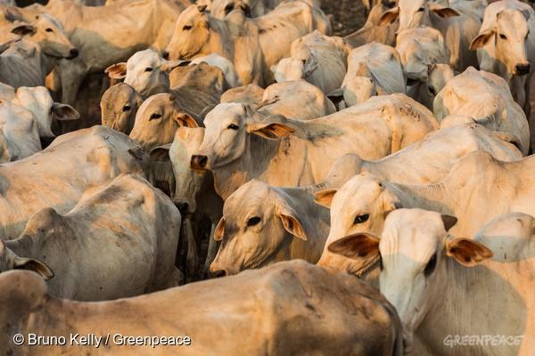 Lavagem de gado dentro de terra indígena no Mato Grosso foi parar na JBS