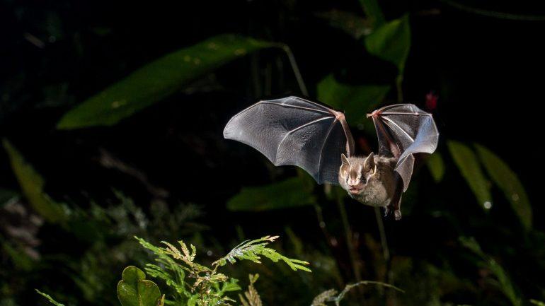 Pesquisadores brasileiros criam 'biblioteca' de ultrassons de morcegos com 65 espécies do país