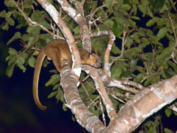 Jupará é mamífero de hábito noturno parente dos quatis e guaxinins (Foto: Rudimar Narciso Cipriani/ TG)