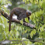 zogue-zogue-rabo-defogo (Plecturocebus miltoni)