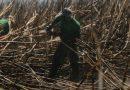 Após explosão das queimadas, cana-de-açúcar é nova ameaça à Amazônia e ao Pantanal